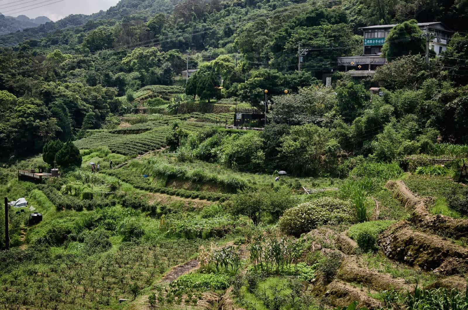 Tea Fields at Maokong in Taipei, Taiwan