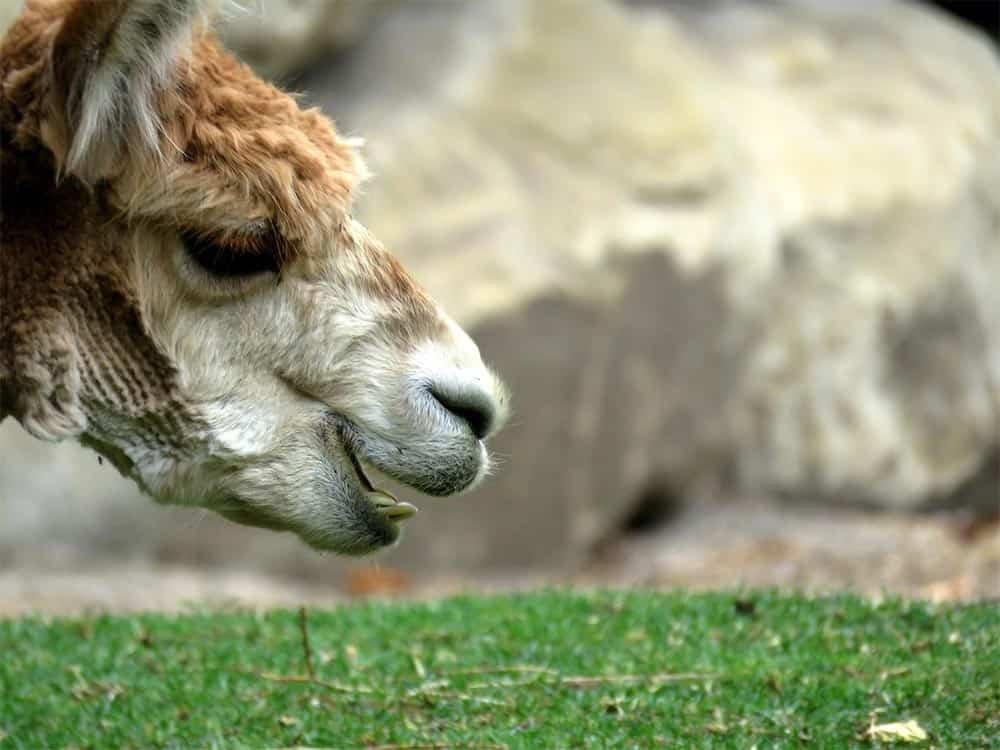 Alpaca @ Zoo
