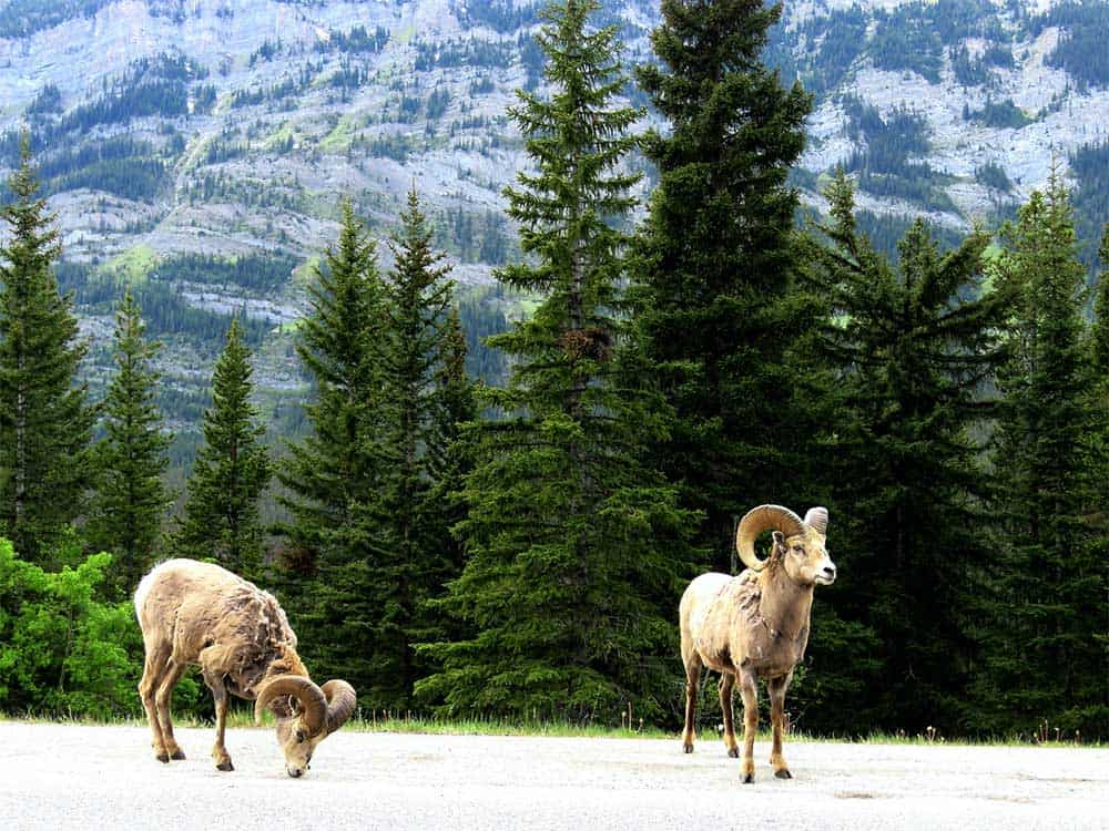 Bighorn Sheep in Spring
