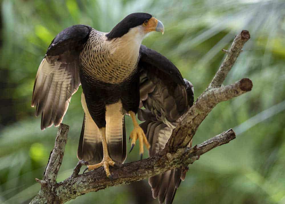 Caracara Bird at Brevard Zoo