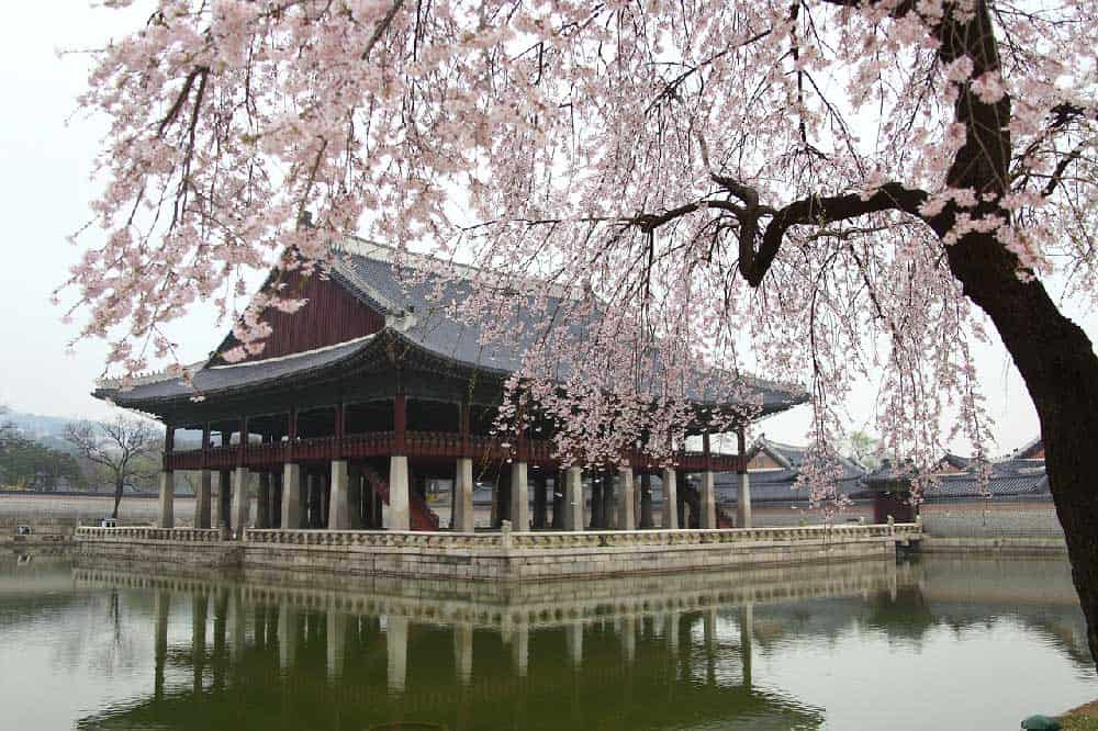 Cherry Blossoms @ Gyeongbokgung in Seoul