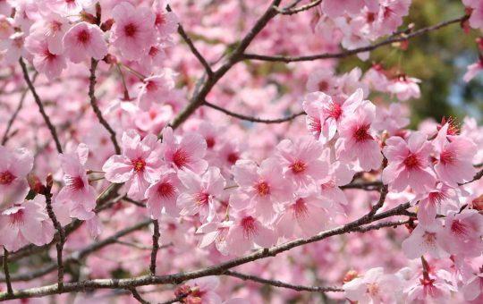 cherry blossoms in osaka