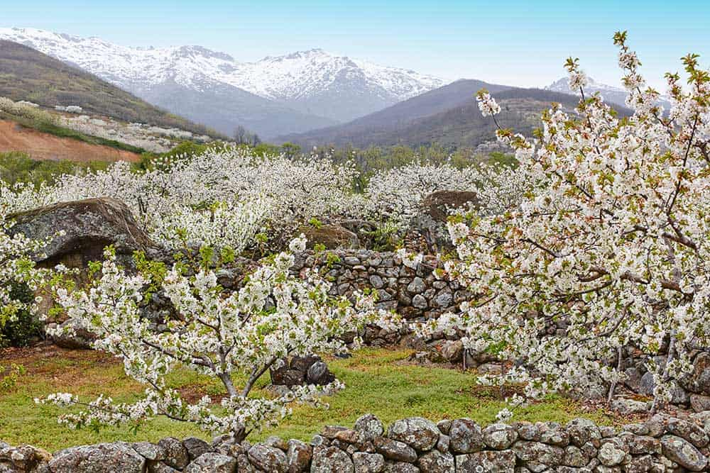 Cherry Blossoms in Jerte Valley