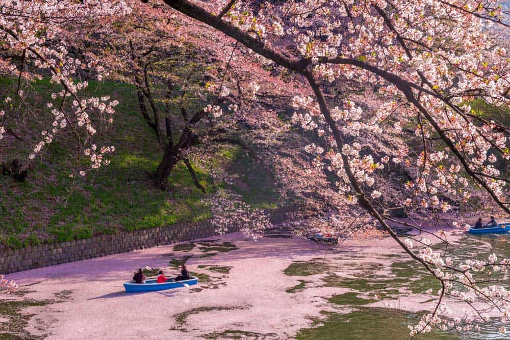 Cherry Trees Chidori-ga Fuchi
