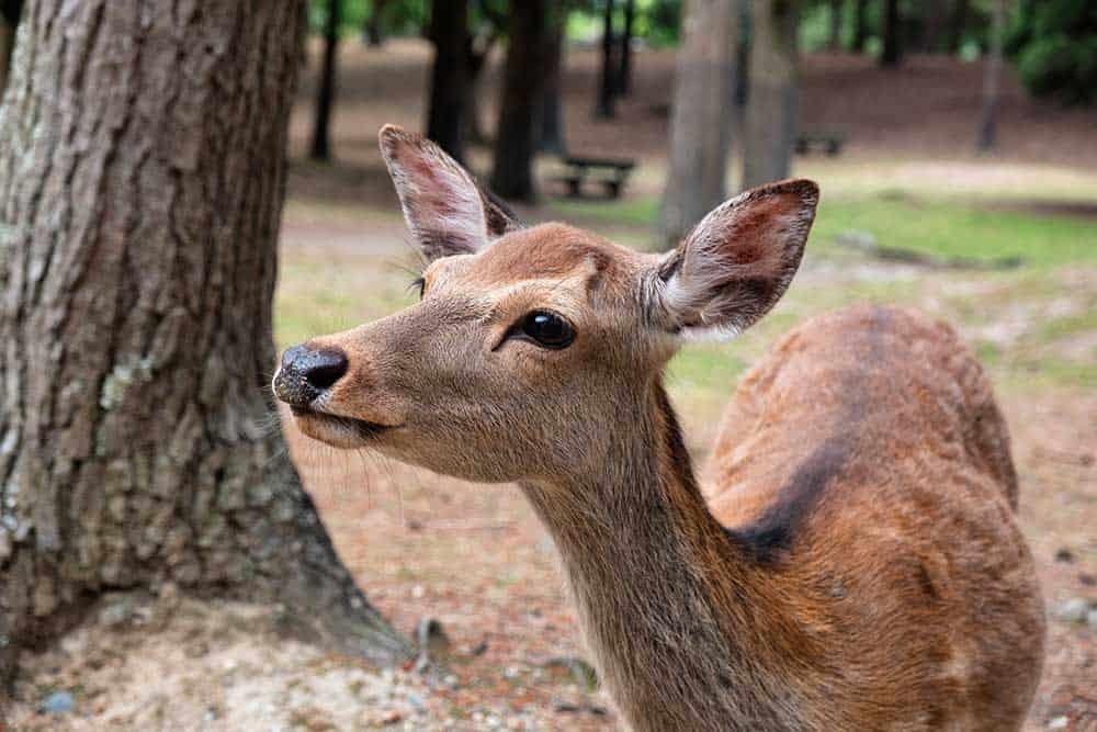 Deer @ Nara Park
