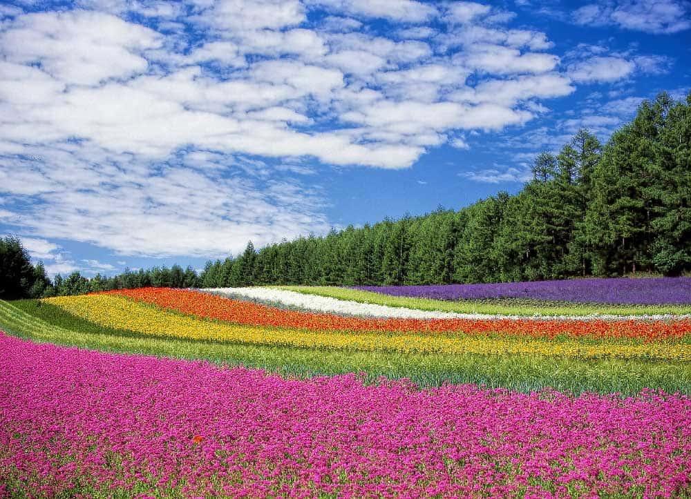 Flower in Furano, Hokkaido, Japan
