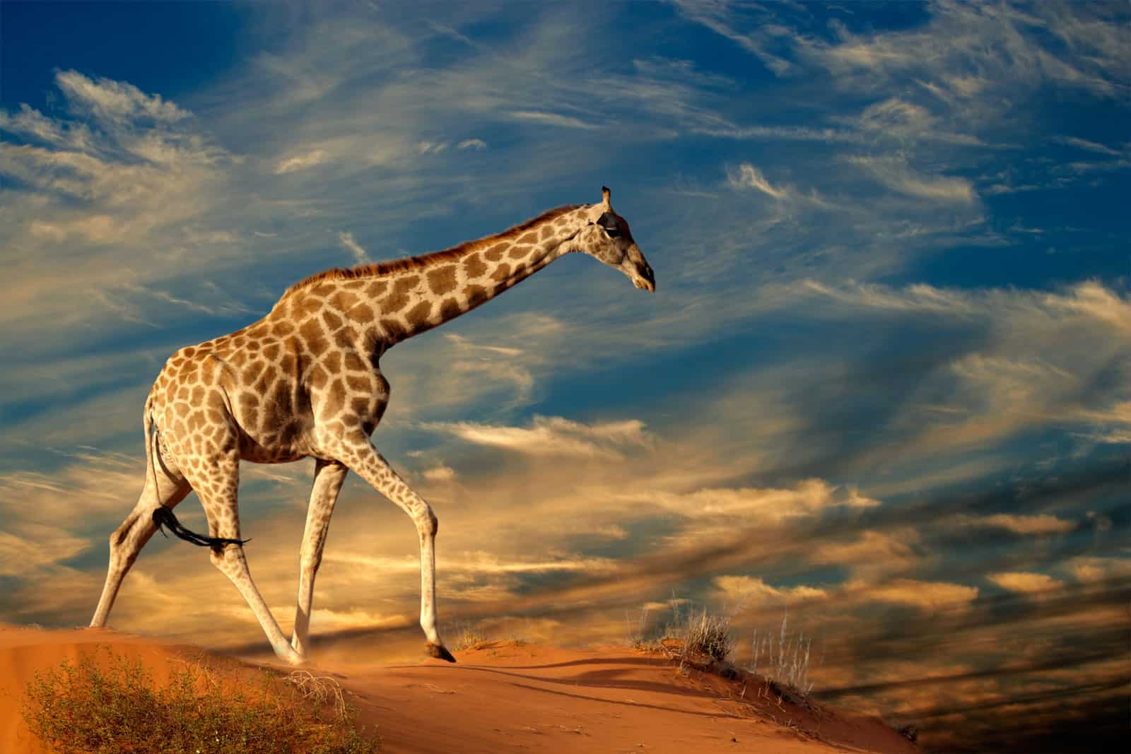 Giraffe on a sand dune in South Africa