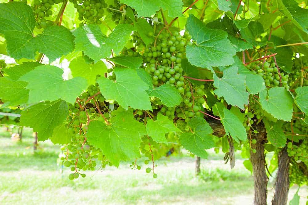 Hokkaido Vineyard