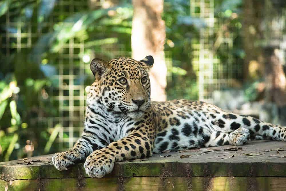 Jaguar at Central Florida Zoo