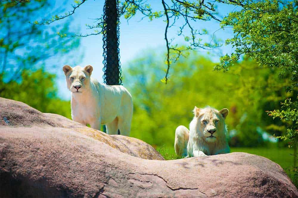 Lion Cubs @ Toronto Zoo