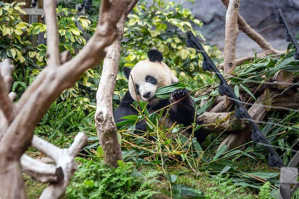 Giant Panda Pavilion