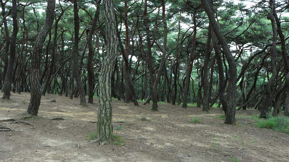 Pine Forest in Gyeongju, South Korea