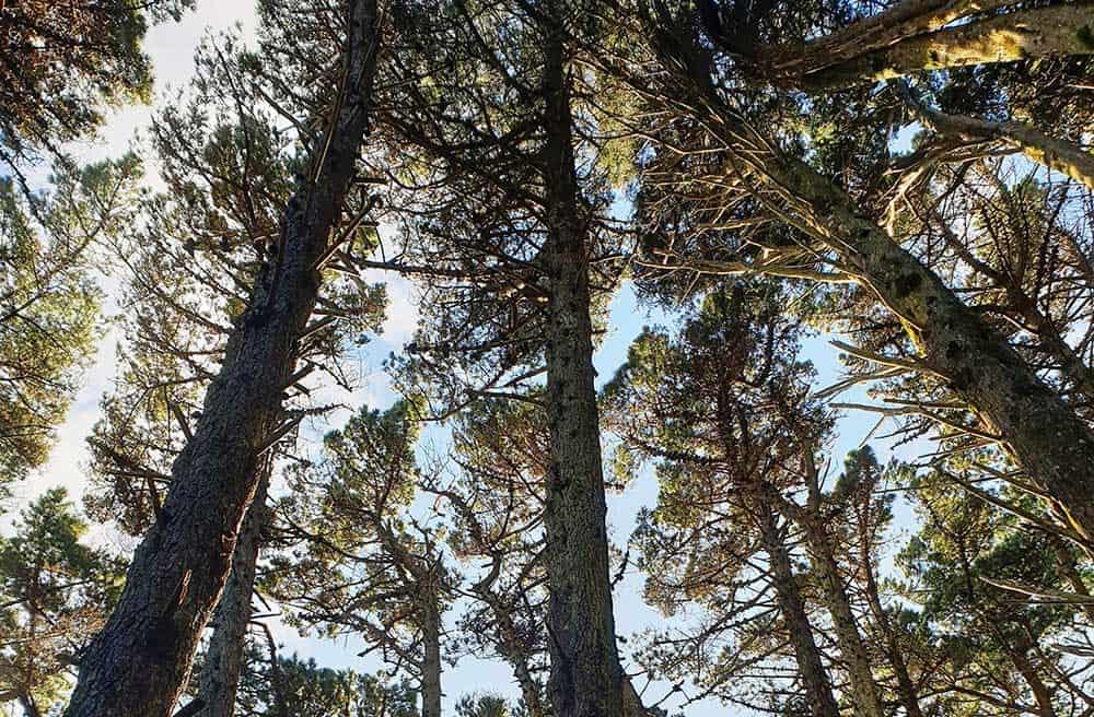 Pine Trees on Skyline Walkway