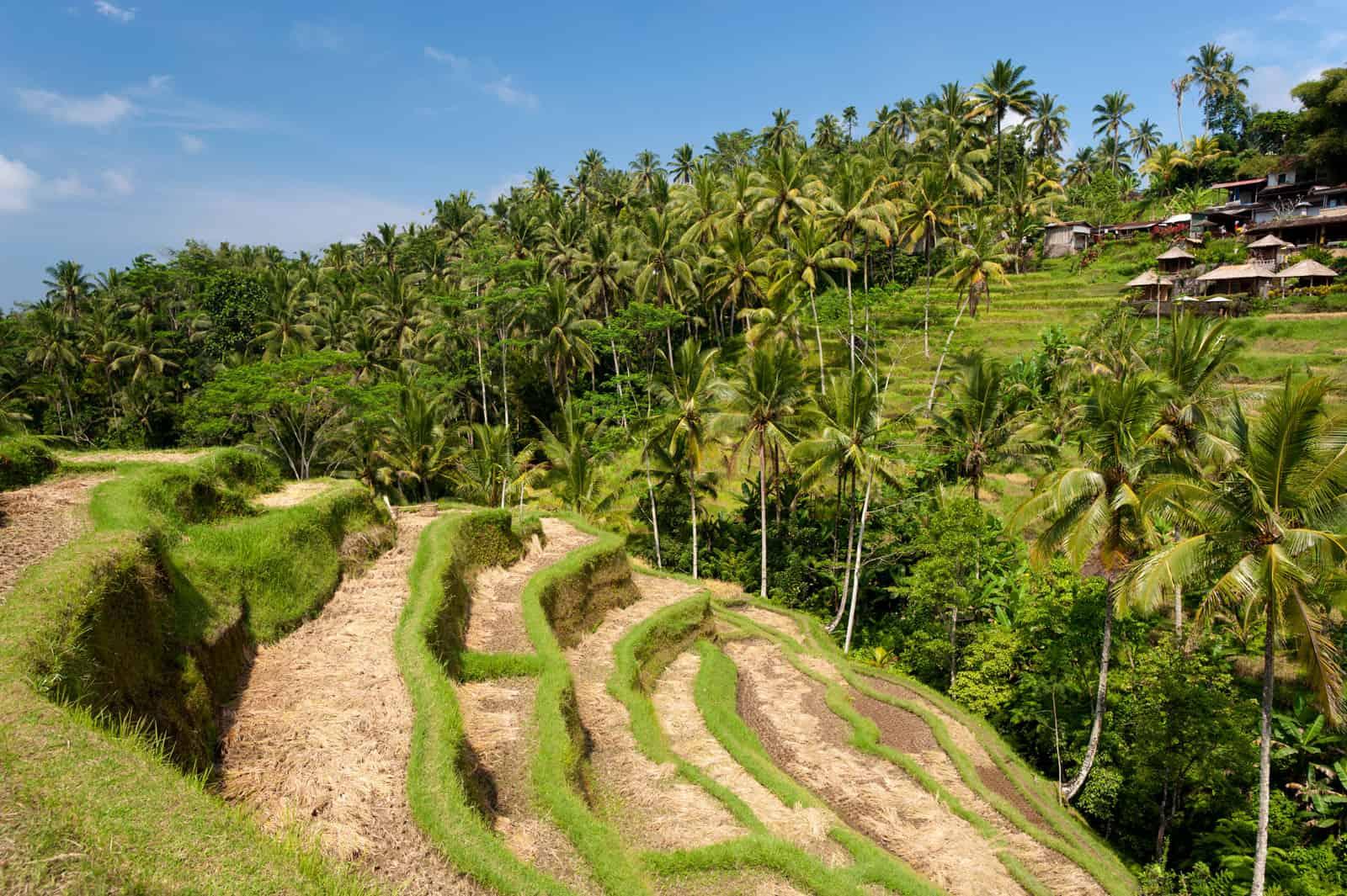Rice Paddies around Ubud, Bali, Indonesia