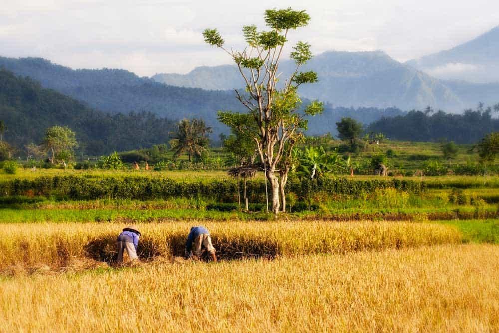 Rice Paddy near Candidasa, Bali, Indonesia