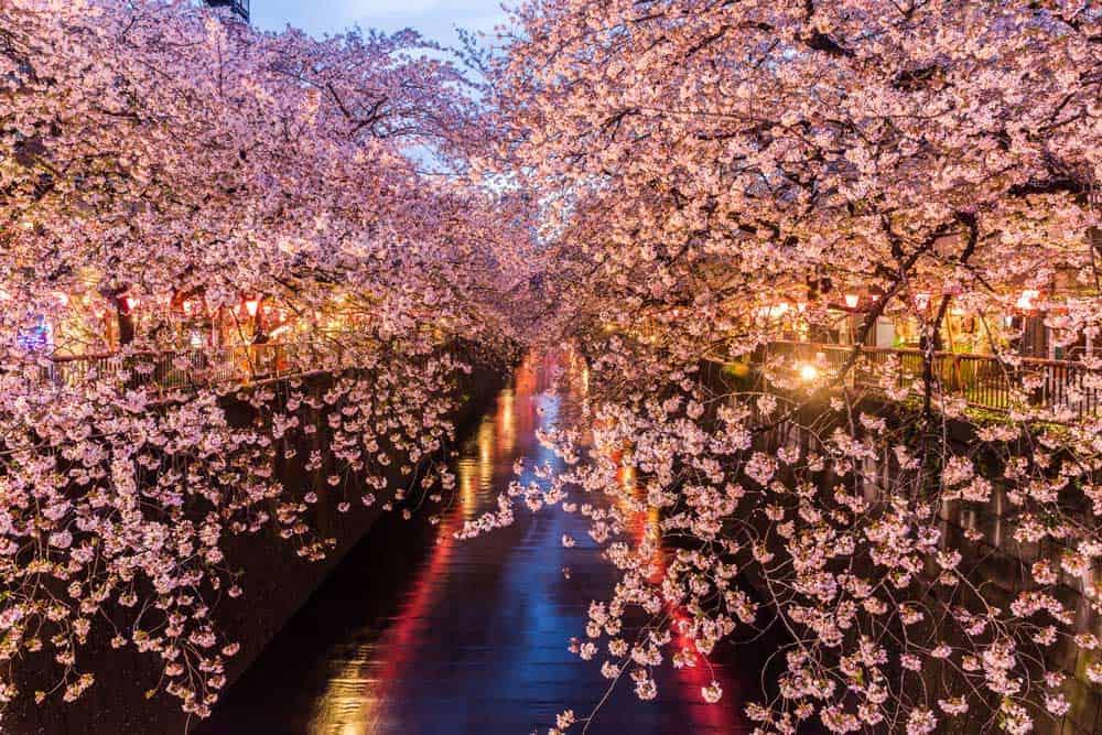 Sakura Meguro Canal Tokyo