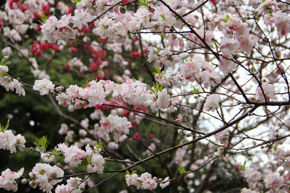 Sakura Shinjuku Gyoen Garden