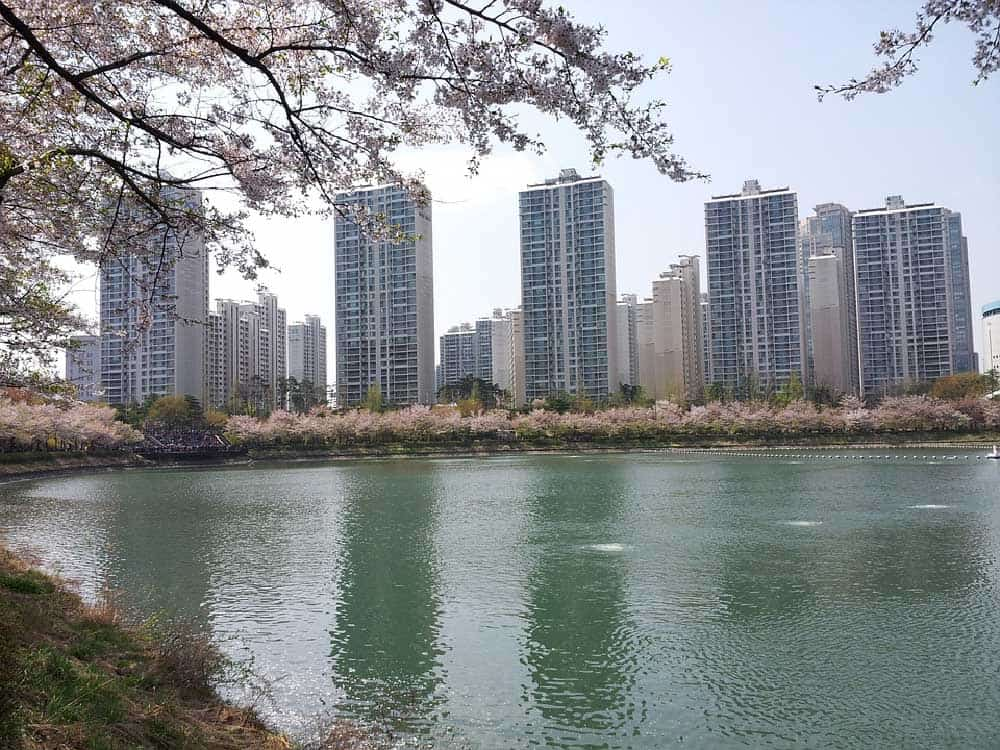 Seokchon Lake Cherry Blossoms
