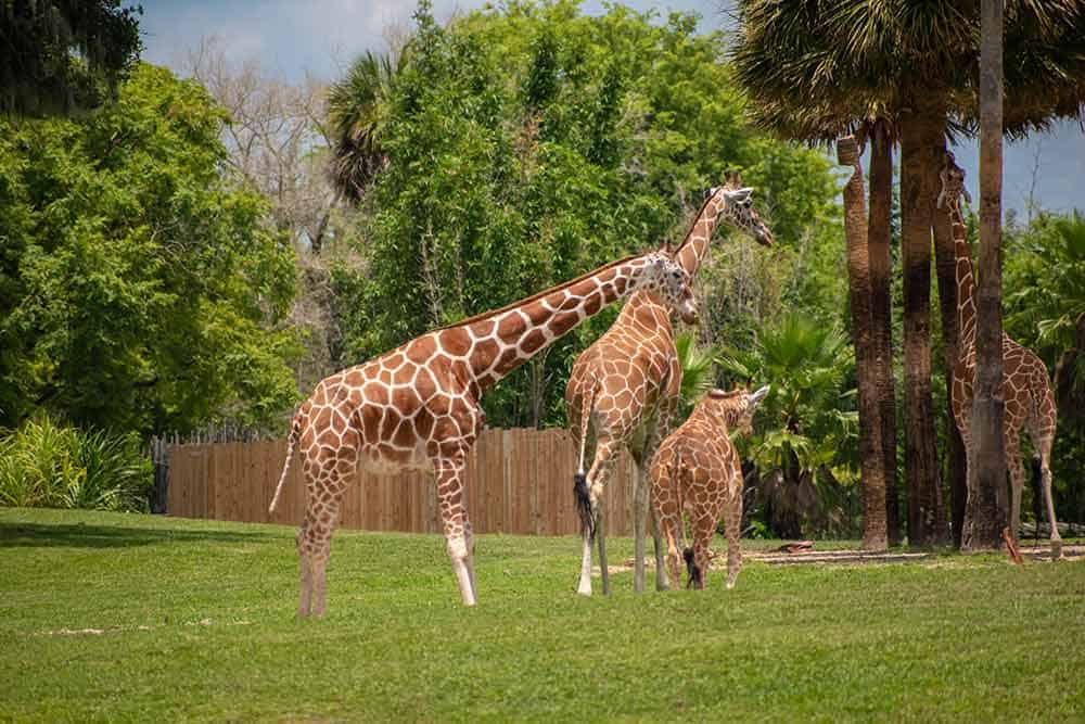 Serengeti Safari Busch Garden