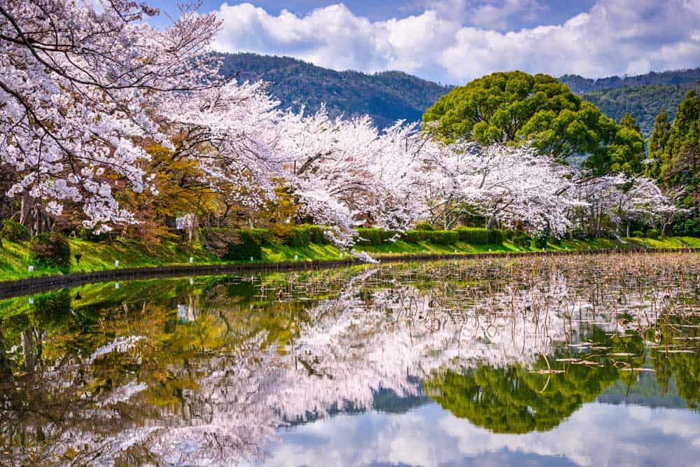 Spring Cherry Blossoms in Arashiyama