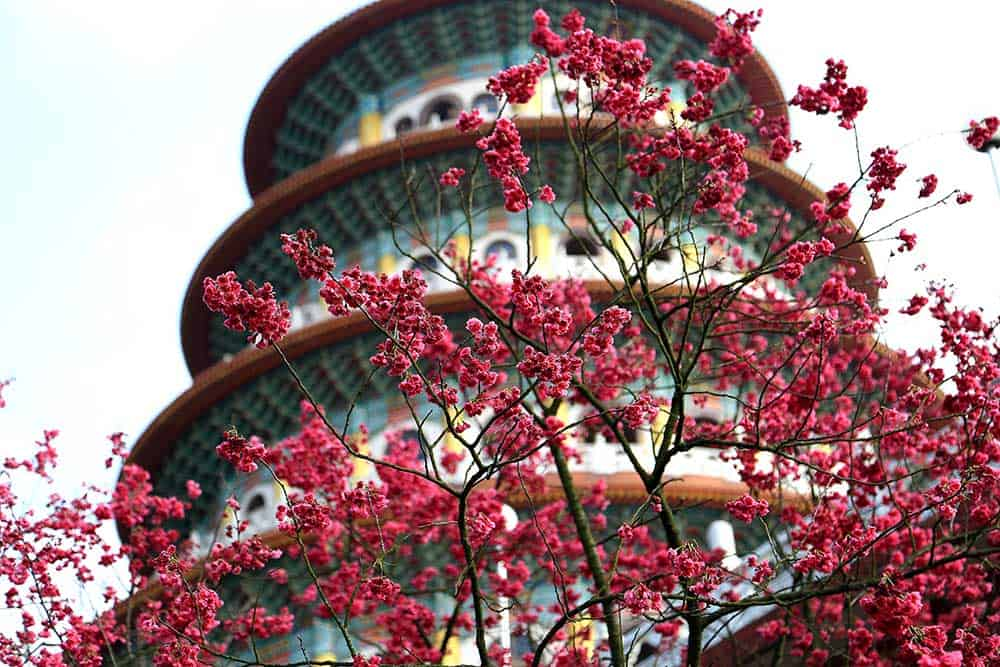 Cherry Blossoms at Tianyuan Palace