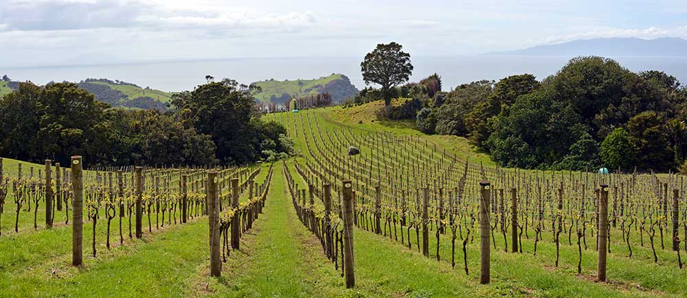 Vineyard from Stony Batter