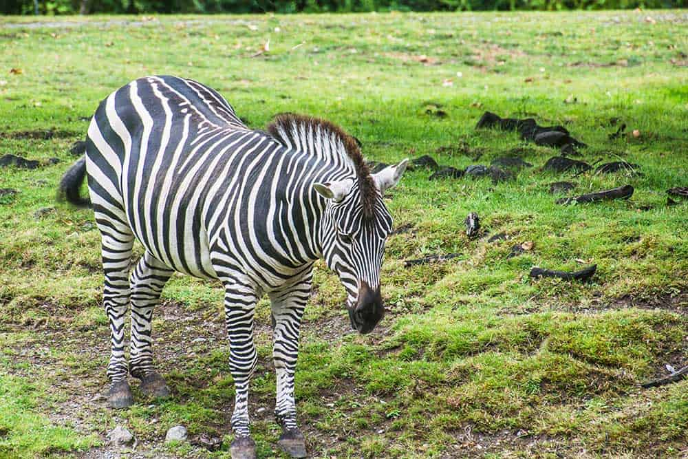 Zebra at Woodland Park Zoo